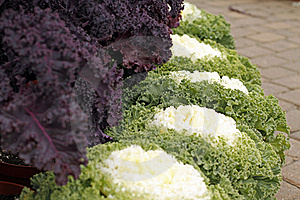 Ornamental Cabbages Stock Images - Image: 22022414