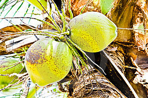 Coconuts  Stock Photos - Image: 22046453