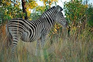 Burchell's Zebras (Equus Burchellii) Royalty Free Stock Image - Image: 22076686
