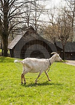Goat Royalty Free Stock Image - Image: 22077036