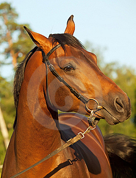 Portrait Of Nice Bay Horse Royalty Free Stock Photo - Image: 22086905