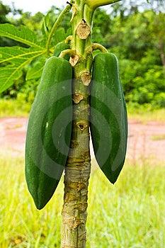 Young Papaya Royalty Free Stock Photo - Image: 22094805