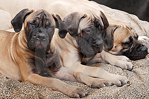 Bullmastiff puppy 89 Royalty Free Stock Photos