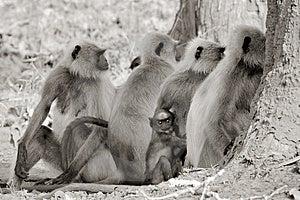 Hanuman Langur Troop Stock Photography - Image: 2216512