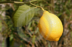 Photograph of a Lemon Stock Photography