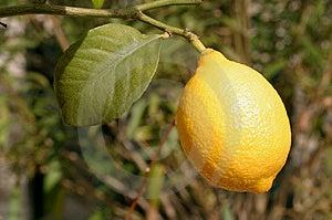 Photograph of a Lemon Stock Photography