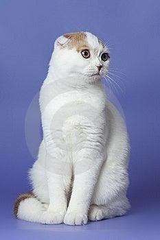 Scottish Fold Cat Stock Photo - Image: 22104950