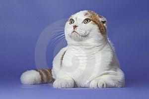 Scottish Fold Cat Stock Photos - Image: 22104963