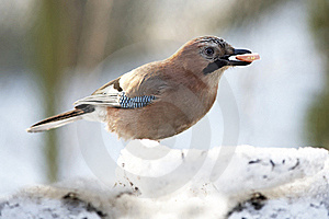 Jay With Sausage In Beak Royalty Free Stock Photo - Image: 22113855