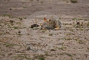 Black-backed Jackal (Canis Mesomelas) Sleeping Royalty Free Stock Images - Image: 22118169