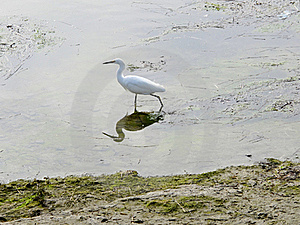 Snowy Egret Royalty Free Stock Image - Image: 22125036