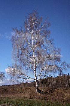 Birch Royalty Free Stock Images - Image: 22129169
