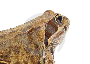 Head Of Goggle-Eyed Frog Close-up Royalty Free Stock Photo - Image: 22140265