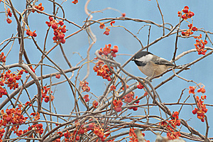 Black-capped Chickadee Stock Images - Image: 22167944