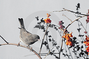 Gray Catbird Stock Photo - Image: 22167950
