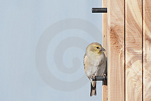 American Goldfinch Stock Photography - Image: 22167952