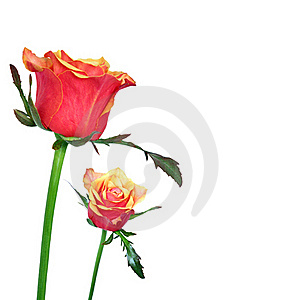 Red And Orage Roses On White Background Royalty Free Stock Image - Image: 22172106