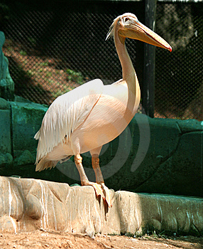 Pelicans Stock Photography - Image: 22186172