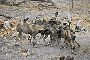 Wild Dogs Play-fighting Stock Images - Image: 22186594