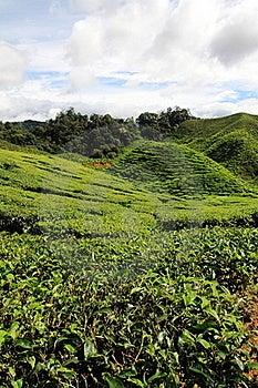 Tea Plantation Royalty Free Stock Photos - Image: 22188858