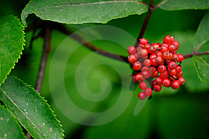 Red Berries Stock Photography - Image: 22200042