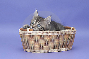 Siberian Kitten Stock Image - Image: 22201421