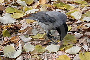 Crow Stock Photo - Image: 22215990
