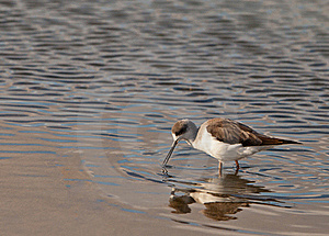 The Black-winged Stilt Stock Images - Image: 22219514