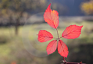 Fall Foliage Details - Vivid Red Leaves Stock Photography - Image: 22233442