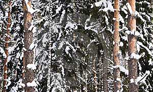 Snow-covered Birch And Pine Stock Photo - Image: 22280090
