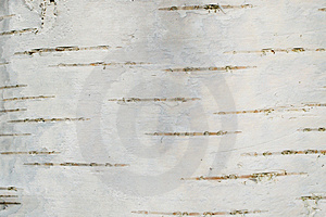Smooth birch bark texture Royalty Free Stock Photo