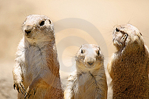 Prairie Dog Trio Stock Images - Image: 22300904