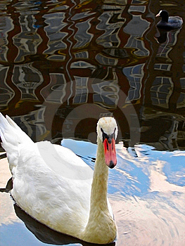 Swan And Reflection Stock Photo - Image: 22302770