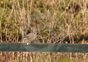 A Female Black Redstart In Winter Royalty Free Stock Photography - Image: 22305457