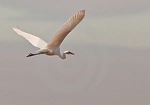 The Great White Egret In Flight Royalty Free Stock Photos - Image: 22305568