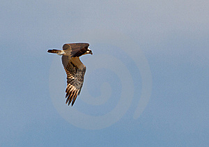 An Osprey In Flight Royalty Free Stock Images - Image: 22305609