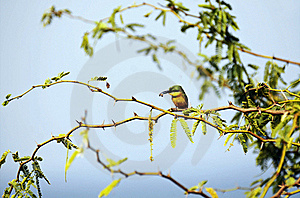 Little Bee-eater And His Pray Royalty Free Stock Images - Image: 22326969