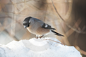 Bullfinch On Snowdrift Royalty Free Stock Photography - Image: 22344567