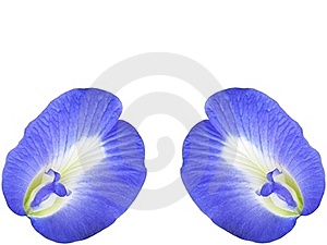 Butterfly Pea Flower Royalty Free Stock Photo - Image: 22349455