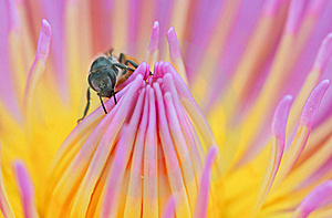 Bee On The Top Of Lotus Stock Image - Image: 22353871