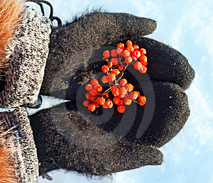 Mountain Ash Berries Stock Images - Image: 22394594