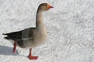 Goose On Frozen Lake Stock Photo - Image: 2244510