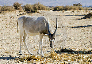 Arabian Antelope In Hai-bar Nature Reserve, Israel Royalty Free Stock Images - Image: 22436679