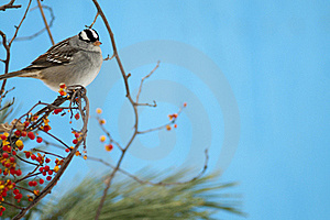 White-crowned Sparrow Royalty Free Stock Photos - Image: 22450538