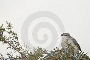 Northern Mockingbird Stock Images - Image: 22450544