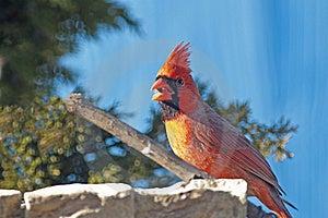 Northern Cardinal Stock Photo - Image: 22450560
