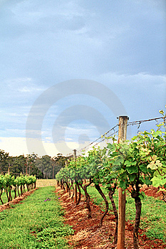 Grape Vines In A Vineyard Stock Photos - Image: 22454293