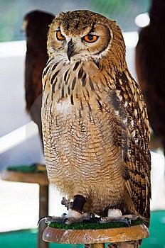 Wild Owl Orange Eyes Stock Photo - Image: 22460530