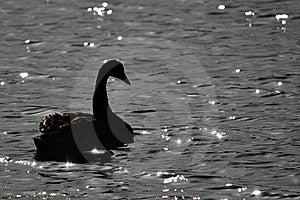 Black Swan Royalty Free Stock Image - Image: 22461766