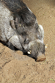 Warty Pig Stock Photography - Image: 22472212